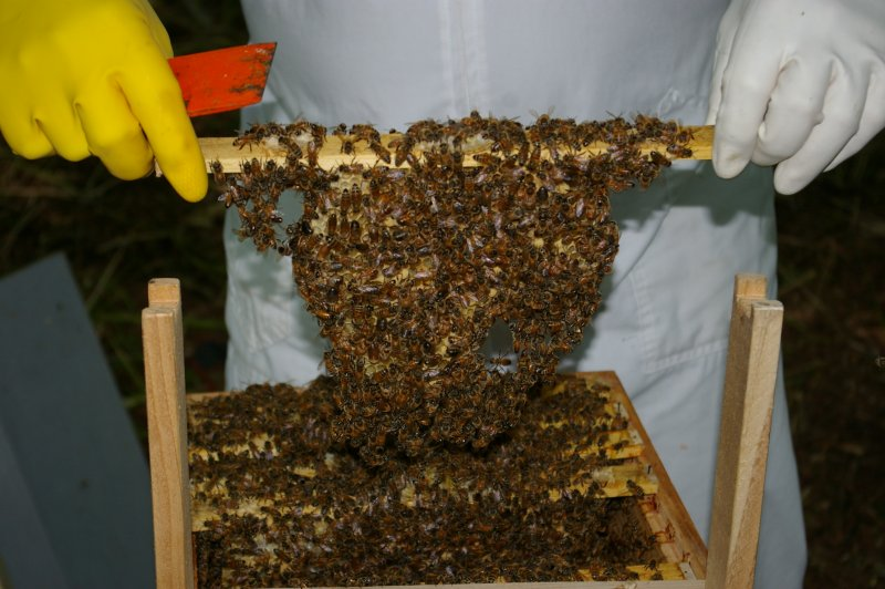 haverson_putting_comb+bees_in_holder.jpg (84627 bytes)